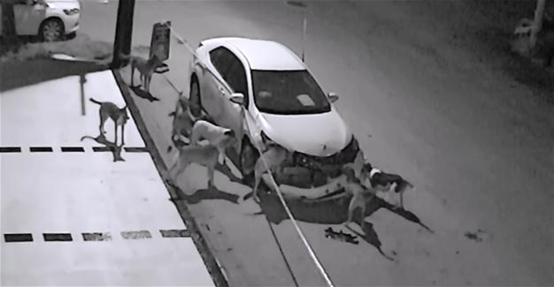 Stray Dogs Destroy A Car In Turkey 1