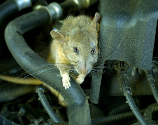 Keeping Rats and Stray Cats Away From Your Car Engine 2
